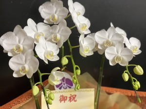 ミニ胡蝶蘭26